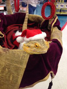 Even a breaded dragon can dress up for Halloween costume contest. Romeo as Santa