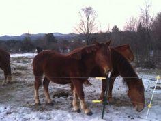 Draft horses at Reber Rock Farm, Essex, NY (winter 2013-14)