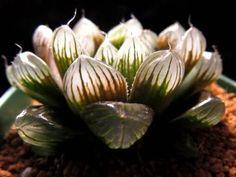 多肉植物 ハオルチア オブツーサ 黒紫天津玉露