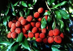 Lychee Tropical Fruit Tree 1 Gallon by TomsTropicals on Etsy, $25.00