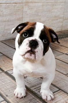 #Bulldog #pup