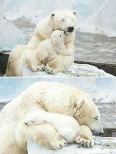 Polar bear mom and baby