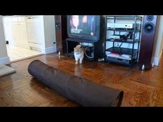 Cat video of funny exotic shorthair/flat face cat