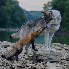 Here you can compare gray wolf vs fox. Read this article to know comparison, difference between fox vs gray wolf and who will win the fight. Nature Animals, Animals And Pets, Baby Animals, Funny Animals, Cute Animals, Artic Animals, Woodland Animals, Wild Animals, Sleepy Animals