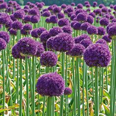 """Allium plant belongs to the onion genus. It is a close relative of onions and leeks. There are about 1250 species in this genus, making it one of the largest plant genera in the world"" plant in fall, bloom in May. Flores Allium, Allium Flowers, Bulb Flowers, Love Flowers, Purple Flowers, Spring Flowers, Beautiful Flowers, August Flowers, Spring Blooms"