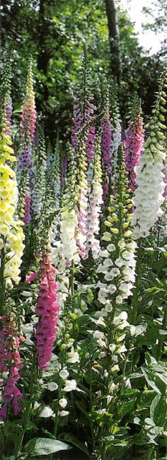 Foxglove - low-growing foliage is topped by 2- to 5-foot-tall flower spikes…