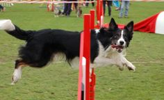 Totally awesome. Border Collie agility course.
