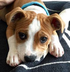 Nu Staffordshire puppy 12 weeks Old