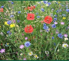 Cultiver des fleurs de champs