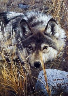 "Print by Carl Brenders... my favorite wildlife artist. He's awesome. This one is called ""One on One"". Wolf Photos, Wolf Pictures, Animal Pictures, Wolf Love, Bad Wolf, Wildlife Paintings, Wildlife Art, Beautiful Wolves, Wolf Spirit"