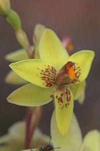 Yellow Sun-orchid: Thelymitra villosa - From Western Australia