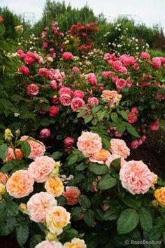 Beautiful Rose Flowers, Flowers Nature, Amazing Flowers, Beautiful Gardens, Beautiful Flowers, Rose Garden Design, Garden Landscape Design, Rose Trees, Growing Roses