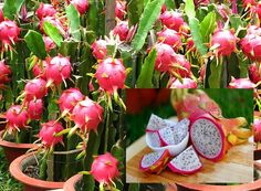 """What's up next for Coachella Valley agriculture? It could be Pitahaya, or more commonly known """"dragon fruit"""", a beautiful, delicious, tropical fruit that is produced by a flowering cactus plant native to Mexico and South America. Dragon fruit has all the necessary elements to quickly establish itself as a new, water-efficient crop for Southern California and has been popping up more recently in California water friendly, residential gardens throughout Orange County."""