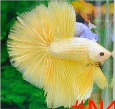 Male-Super-Gold-Dragon-Halfmoon-Betta-Thai Import Halfmoon Betta, Betta Fish, Half Moons, Yellow Plants, Gold Dragon, Aquariums, Whales, Dolphins, Badass