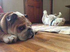 Baggy Bulldogs LOL Looks like my Tarzan and Marshmallow