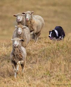 Keeping them in line. ... Now that is a working dog! They are awesome to watch when they are herding.