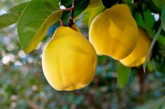 Growing Quinces- Caring for your Fruit Trees Quince Fruit, Peach Water, Yellow Fruit, Fall Fruits, Beautiful Fruits, Like Chocolate, Chocolate Chip Cookie Dough, Healthy Fruits, Healthy Food
