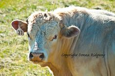 Charolais bull photo animal photo digital by NaturePhotosMontana, $9.99 Personal and limited commercial use rights.