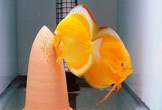 Discus Aquarium, Discus Fish, Marine Aquarium, Tropical Freshwater Fish, Freshwater Aquarium Fish, Tropical Fish, Acara Disco, Oscar Fish, Fish Gallery