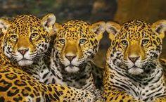 Resultado de imagem para felinos selvagens filhotes