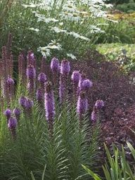 Excellent combination for sun    From top: Leucanthemum, Sedum 'Purple Emperor', and Liatris spicata 'Floristan Violet'.    Try this combination of cool-colored perennials in a sunny, dry to average spot in the garden. All are very low-maintenance plants and make great cut flowers too!