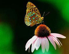 Butterfly Photo Nature Photograph Cone Flower Pink. $25.00, via Etsy.