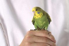 Want to start training your pet bird? Give these simple bird tricks a try to get on the fast track to bird training success!