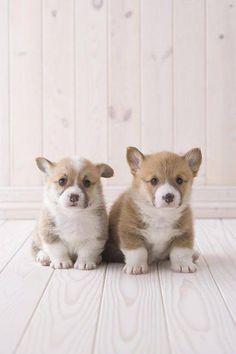 What is it about baby animals? Corgies = cute. Corgie puppies = Cute Kryptonite !
