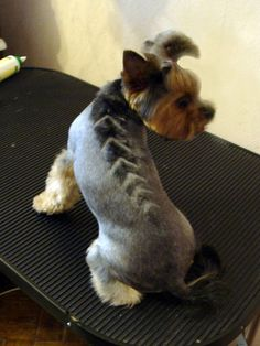 Here are some images that you can get idea about Yorkie Hairstyles or Yorkie Haircuts. As a Toy dog miniature yorkshire terrier can dress up with beautiful Schnauzer Mix, Miniature Schnauzer, Little Dogs, Yorkies, Yorkie Puppies, I Love Dogs, Cute Dogs, Yorkie Hairstyles, Yorkshire Terrier Haircut