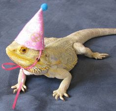 8034c40d05e Handmade Felt Bearded Dragon Birthday Hats by PamperedBeardies Birthday Hats