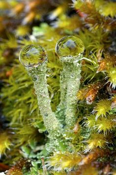 Pixie-Cup Lichen (Cladonia Fimbriata) ~ John W. Wall - A Fungi, Moss and Lichen hunt! Mini Terrarium, Wild Mushrooms, Stuffed Mushrooms, Photo Macro, Dame Nature, Slime Mould, Plant Fungus, Mushroom Fungi, Mushroom Soup