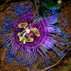 purple passiflora