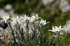 Edelweiss at the Hochkönig (high king) mountain in the province of Salzburg