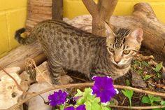 DARK - Gato adoptado - AsoKa el grande