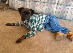 Blue jean boxer....  can't stop laughing!!!!!!