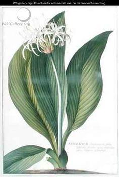 Pancratium Americanum - Georg Dionysius Ehret
