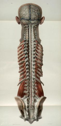 brain and spine, from Atlas of Anatomy, by Jean-Baptiste Marc Bourgery, 1854