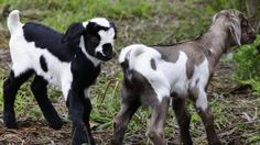 #goatvet likes this happy ending - Mischievous Milly the goat is a mum to twin boys | DailyTelegraph