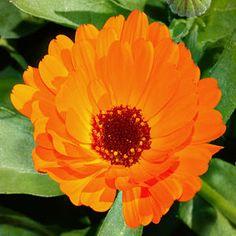 nutrient accumulator: Gemeine Ringelblume (Calendula officinalis)