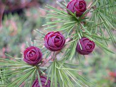 Eastern Larch or Tamarack   Larix laricina   trees-shrubs-vines