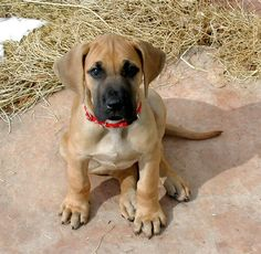 Great Dane pup. Look at those paws!!