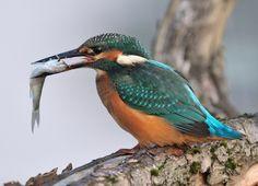 Zimorodek Bird Watching, Beautiful Birds, Pictures, Animals, Photos, Animales, Animaux, Animais, Animal