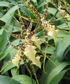 Looking for a great indoor plant?  Try a Spider Orchid! #spring