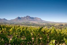 Beautiful photos showcasing the best that Blaauwklippen Vineyards has to offer, with some of the best wine in Stellenbosch. Wine Painting, Mountain Paintings, Before I Die, Cape Town, South Africa, Vineyard, The Neighbourhood, Mountains, Places