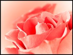 rose Pink Stuff, Rose, Flowers, Plants, Pink, Plant, Roses, Royal Icing Flowers, Flower