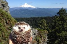 This Adorable Hedgehog Is Traveling The World With His Humans. Photo #17 Totally Melted My Heart.