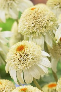 Echinacea purpurea 'Milkshake' Coneflower, bought Fall in 2012 didn't bloom yet, 2013 bloomed and can be divided, collected seeds. My Flower, White Flowers, Beautiful Flowers, Beautiful Gorgeous, Absolutely Stunning, Moon Garden, Dream Garden, White Gardens, Gerbera