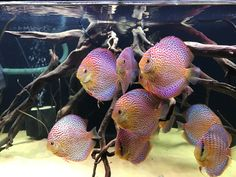Discus Aquarium, Discus Fish, Planted Aquarium, Tropical Freshwater Fish, Freshwater Aquarium, Tropical Fish, Oscar Fish, Fish List, Fish Care