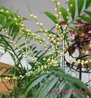 Комнатные растения для души и настроения: Как цветет хамедорея: фото и уход в домашних услов...