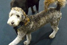 Tessa struts around the daycare, full of doodle confidence.